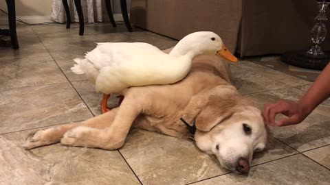 Possessive duck won't let human pet his doggy friend