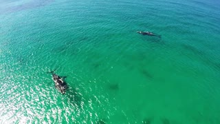 Impactante vista de las ballenas en Australia Occidental - Video