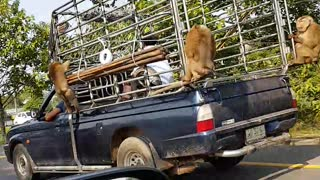 Monkeys Hitch a Ride - Video