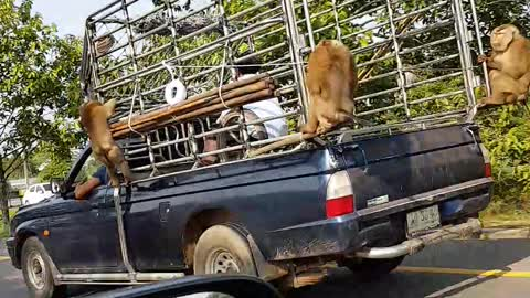 Monkeys Hitch a Ride