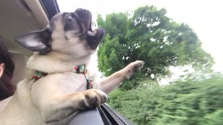 Pug attempts to bite passing trees from car window - Video