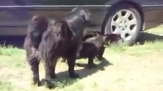 Responsible Dog Breaks Up Cat Fight!