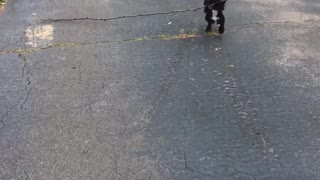 Black dog carries large stick - Video