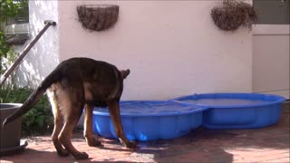 Young german shepherd dog tries to eat water
