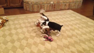 Grown beagles are just puppies in a bigger body, really.  - Video