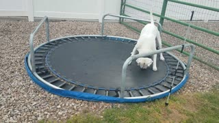 American bulldog trying to jump on upsidown trampoline