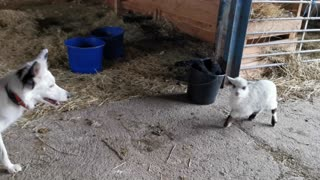 Border Collie and Baby Sheep Have a Blast Playing