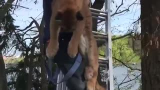 Cougar gets saved from a tree in British Columbia