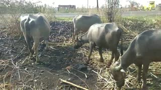 Kids Buffalo Video With Sound - BUFFALOS - Animal Videos Specially Made For Children