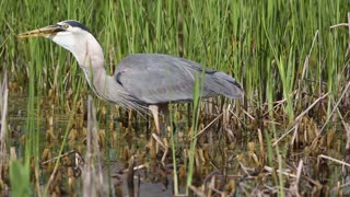 Great Blue Heron Swallows Baby Alligator - Video