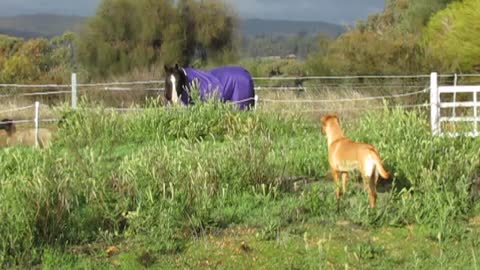 Horse incredibly herds sheep friends, playful pup turns it into mayhem