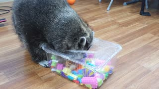 Raccoon finds and eats snacks in a toy box wrapped in bubble wrap