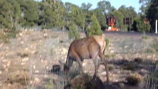 Elk pooping at Grand Canyon National Park