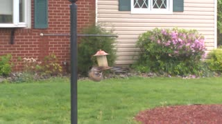 Sneaky Squirrel Eats Bird Seed  - Video