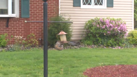 Sneaky Squirrel Eats Bird Seed