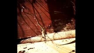 Redback Spider Takes on a Lizard - Video