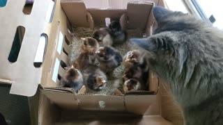 Fascinated cat looks over new arrival of baby chickens