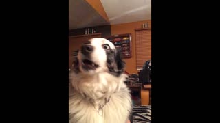 Gorgeous Pup Loves Singing With His Owner - Video