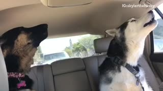 Husky and german shepard in back seat howling and barking - Video