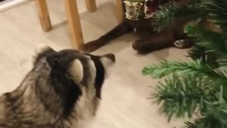 Cute Raccoon Can't Resist Shiny Christmas Decoration