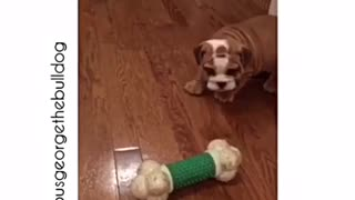 Tiny Bulldog puppy playing with huge bone - Video