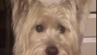 Westie Sure Loves Water  - Video