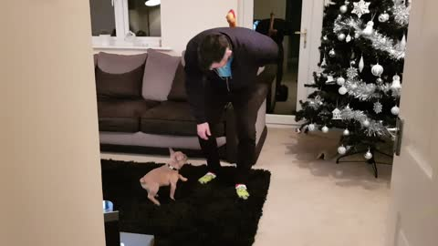 Frenchie puppy receives humongous bone as a treat from his owner