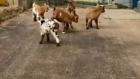Cute baby goats wake up everyday and choose chaos