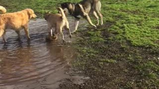 Happy dogs play in mud puddle at park