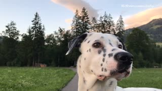 Full grown dalmatian looks around  - Video