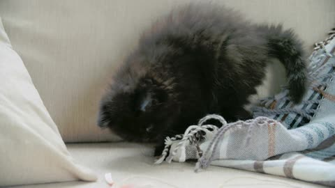 A Pet Kitten Playing With A Blanket In The Sofa!!