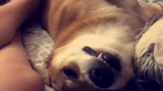 Dog sleeping with teeth sticking out