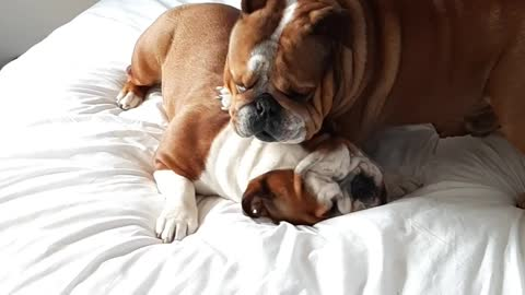 English Bulldogs play-fight all over their owner's bed