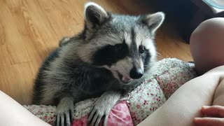 Raccoon sits down and eats snacks.