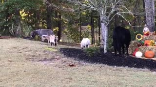 Barnyard Animals Take a Stroll in the Neighborhood - Video