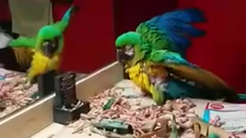Macaw showing off