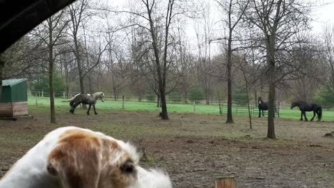 Gorgeous horse excited to see Mom is home