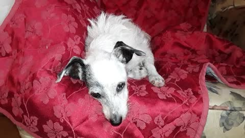 """A VERY SLEEPY 18 YEAR OLD ABUSE SURVIVOR DOG"""