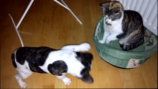 French bulldog battles bully cat for bed: Round 3! - Video