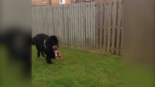 Pup Gets A Ride From Newfoundland Big Brother - Video