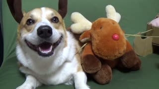 Happy reindeer corgi will warm your heart - Video