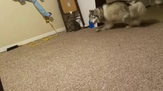 Kitty VS Husky  - Video