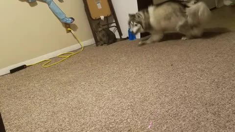 Kitty VS Husky