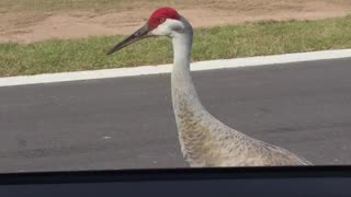 Sandhill cranes completely surround woman in vehicle - Video