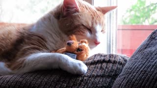 Cat preciously cuddles with small teddy bear