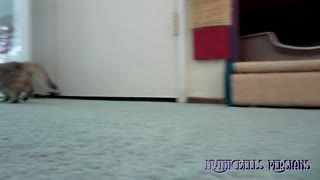 Playing hide and seek with cute Persian kitten, Kemo Sabe (Mythicbells K Litter) - Video