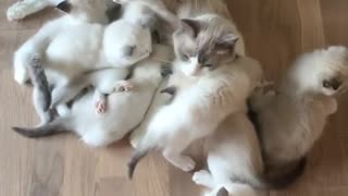 Mamma kitten attacked by swarm of hungry kittens - Video