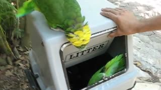 Parrots laughing like women - Video