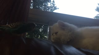 Cat unimpressed with dancing parrot