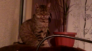 Cat adorably falls asleep sitting upright
